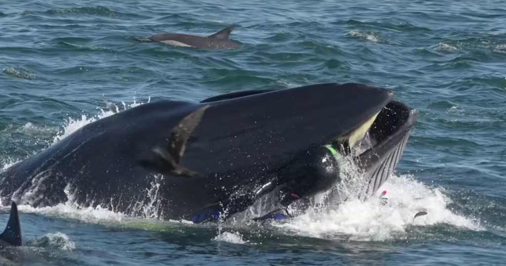 Whale tries to 'swallow' man shown in dramatic pictures